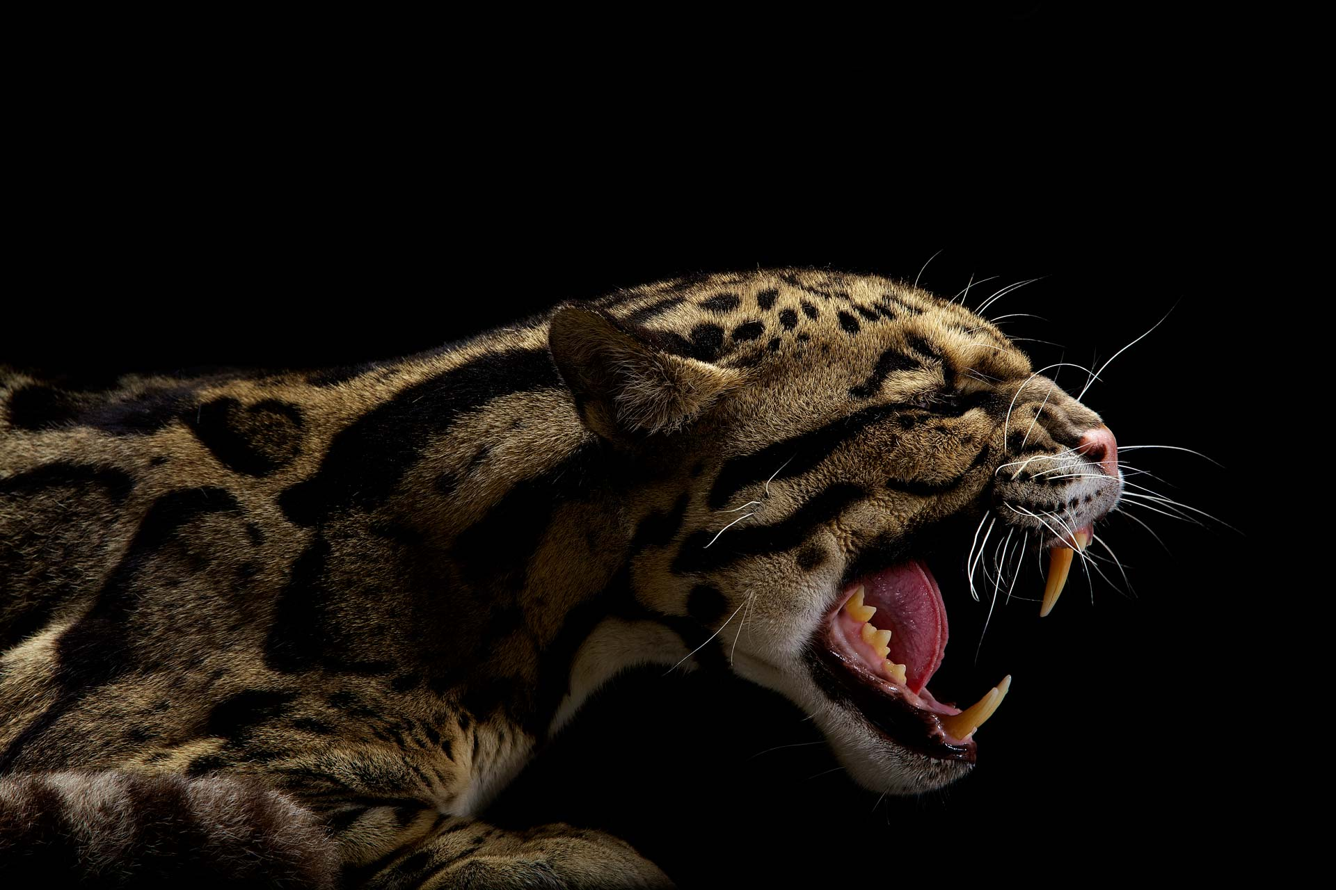 10-Musi_Angry-Leopard.jpg